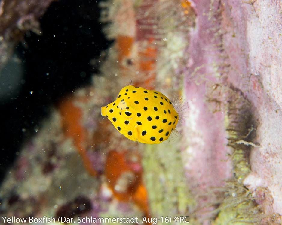 16_3_Yellow Boxfish Juvenile (Dar, Schlammerstadt, Aug-16)